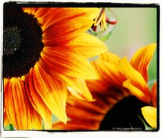 Sunflowers in the fall...
