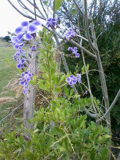 me gusta las flores lilas en plantas, arbustos..........una variedad diferente de LAVANDA