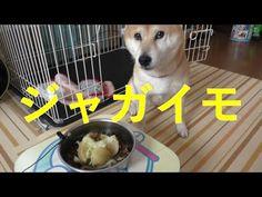 柴犬小春 今朝こは【ASMR】ジャガイモトッピングGood morninng!