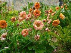 geum mai tai | Cagouille's Garden