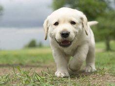 Cute Labrador Retriever dog pictures...Click here to see>> www.fundogpics.com/labrador-retriever-dog-pictures.html #labradorretriever