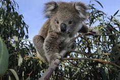 A koala in a eucalyptu tree in Australia