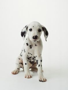 Spots are in this holiday season. #barkyeah Cute Small Animals, Animals And Pets, Baby Animals, Dogs And Puppies, Dalmatian Puppies, Doggies, Labrador Puppies, Animal Photography, Equine Photography