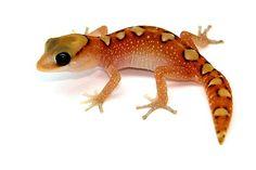 Diplodactylus galeatus orange phase #gecko... so want one!