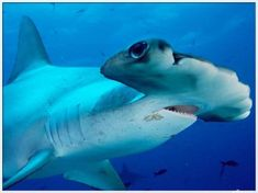 Sharks [hammerhead shark] >>>>>>>>>>>>> [David Francis was a big proponent of sharks from before he started to school. He read all about them and knew why they were vital to the planet. He died at age 22, but would have been happy with anyone who helped to save them, especially now that they're in such danger.]
