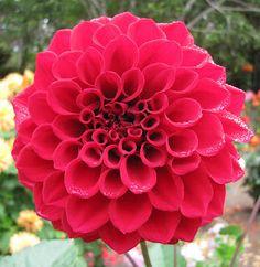 dark pink dahlia -- yes, please