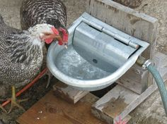 These easy, cheap to build waterers save both your back and time and are easy to clean. Our design is shown and list of materials. Self-filling, they make less work and give the chickens fresh water all day long, find out how.
