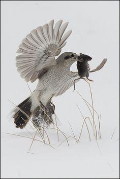 Shrike (Northern) with prey