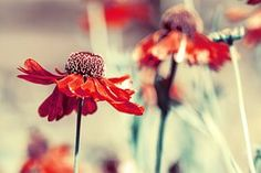 Flower, Red, Nature, Plants, Summer
