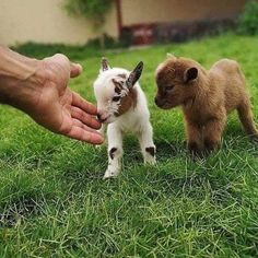 Things that make you go AWW! Like puppies, bunnies, babies, and so on. A place for really cute pictures and videos! Baby Farm Animals, Baby Animals Pictures, Baby Cows, Cute Animal Pictures, Baby Pygmy Goats, Cute Baby Cow, Baby Animals Super Cute, Cute Little Animals, Cute Funny Animals
