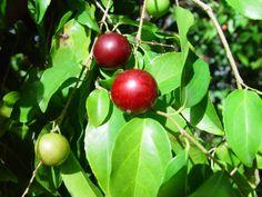 Paniala Fruit Tree  -  Caribfruits - Prune café / Fruits des Antilles