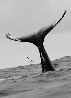 Ocean Life Animals Black and White Photography Beautiful Creatures, Animals Beautiful, A Well Traveled Woman, Wale, Delphine, Whale Tail, Majestic Animals, Ocean Life, Marine Life