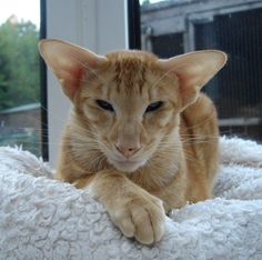 Gorgeous red oriental cat.