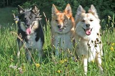 Icelandic Sheepdog was brought to Iceland by the Vikings more than 1,100 years ago. Descended from Nordic Spitz breeds, the Icelandic Sheepdog is now considered Iceland's native dog. The breed was (and still is) used to work the sheep and horses also brought to Iceland by the Vikings.