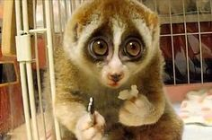 Slow Loris - probably the cutest creature ever!