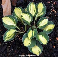 Hosta Holy Mouse Ears  www.plantsgalore.com