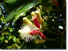 Clove bud / Bali