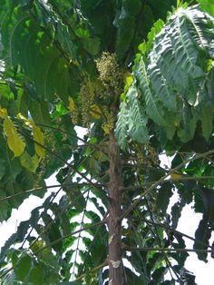 Herbal Plants, Medicinal Herbs, Mindanao, All Plants, Alternative Medicine, Herbal Remedies, Philippines, Herbalism, Plant Leaves