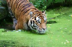 Die Mangroven der Sundarbans trotzen Taifunen und Tsunamis, sie bieten Menschen und Tigern eine Heimat. Das Herz der Wälder wurde zum Unesco-Welterbe geadelt. Trotzdem planen Bangladesh und Indien nur wenige Kilometer entfernt das Kohlekraftwerk Rampal. Bitte fordern Sie die Exim Bank India auf, die Finanzierung zu verweigern.