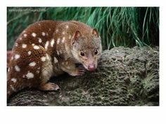 Types of Marsupials | Spotted-Tailed Quoll (Dasyurops Maculatus),