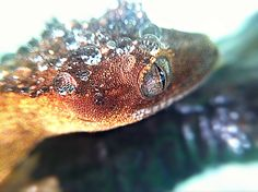 Dew drops on top of an Eyelash Crested Gecko's head.