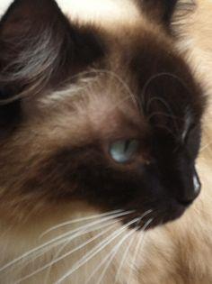 Rag Doll Cat -