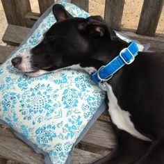 Nina looking chilled out in her Venetian blue Luxury Swiss Velvet House Collar.