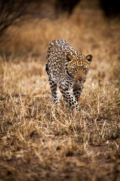 www.africaninsight.co.za #africaninsight #southafrica #africa #wildlife #krugernationalpark #kruger #volunteer #transformationaljourney #bucketlist #safari #youthtravel #youth #experience #leopard #cat #cats #dangerous #animal #leopardprint #predator #zululand