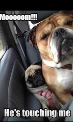 Funny pictures about That's How Pugs Get Wrinkled. Oh, and cool pics about That's How Pugs Get Wrinkled. Also, That's How Pugs Get Wrinkled photos. Animal Captions, Funny Animal Memes, Funny Animal Pictures, Funny Dogs, Funny Memes, Meme Pictures, Funny Photos, Dog Photos, Dog Memes