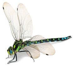 More dragonflies and damselflies includes stunning images. Learn more about More dragonflies and damselflies at DK Find Out! Dragonfly Illustration, Dragonfly Drawing, Dragonfly Tattoo Design, Dragonfly Insect, Dragonfly Wings, Flying Insects, Bugs And Insects, Beautiful Bugs, Beautiful Butterflies