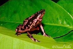Harlequin frog - Spotted by  DanielVelho
