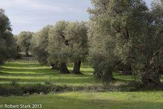 Puglia, Olive grove