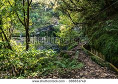 Madeira typical walking and hiking patch - Levada. This particular Levada do Furado leads from Ribeiro Frio through lush rain-forest with waterfalls and many beautiful trees. Waterfalls, Lush, Vineyard, Hiking, Rain, Country Roads, Trees, Stock Photos, Plants