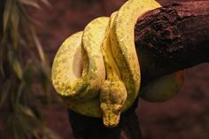 Tree Python in the rainforest - Capron Park Zoo in Attleboro, MA