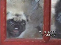 This pug really really wants someone to open the door!  Look at the lil muzzle smushed against the glass and showing teeth!