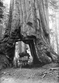 A horse-drawn cart passing through a section cut out of the base of a giant sequoia tree in the Mariposa groves of Yosemite Park, California. (Photo by Carleton E Watkins/Getty Images). 1870