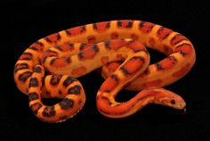 Scaleless Corn Snake, from South Mountain Reptiles. -very high on my wish list!