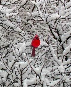 A Lone Cardinal on a Snowy Day - Squee daily at these cute animals and the absolute cutest animal pics and gifs ever known to man. Pretty Birds, Love Birds, Beautiful Birds, Animals Beautiful, Simply Beautiful, Beautiful Things, Winter Pictures, Bird Pictures, Pretty Pictures