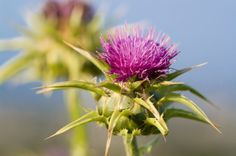 Milk thistle is a liver-supportive supplement that can reduce your Candida symptoms and help you to avoid the experience of a Candida Die-Off reaction.