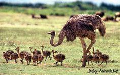 Baby ostrich photos #babyanimals #babyostrich #ostrich #cuteostrich #littleostrich #sweetostrich #ostrichphotos #babyostrichpictures