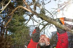 Kuvasarja: Omenapuu virkistyy oikealla hoidolla – nyt on oikea aika leikata | Paikalliset | Helsingin Uutiset
