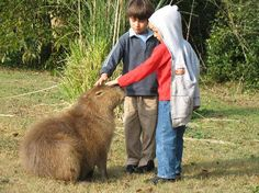 Let the little children come to me. Big Rodents, Capybara, Pets 3, Jungle Animals, Cat Cat, Guinea Pigs, Rabbits, Diva, Animals