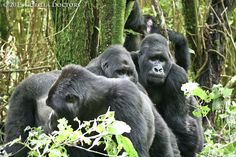 Silverbacks from Mapuwa and Lulengo groups face off in interaction in Virunga National Park.