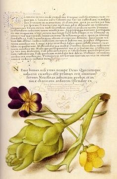 European wild pansy and artichoke Mira Calligraphiæ Monumenta, inscribed by Georg Bocskay and Illuminated by Joris Hoefnagel ~via Giornale