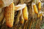 Milho - métodos de colheita e secagem #alcanceosucesso