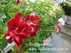 Gerânio-pendente (Pelargonium peltatum)   Cultivando.com.br