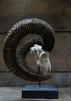 Kapitale mouflon schedel op een hardstenen sokkel. Deze mouflon ram heeft een hoorns lengte van 91cm....