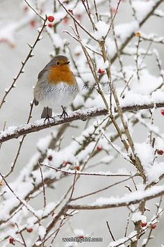 Robin (Erithacus rubecula), with berries in snow, United Kingdom, Europe. by Robert Harding