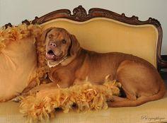 Peaches |  #Adoptable #Dog | #Dogue de #Bordeaux • Adult • Female • Large | Sin City Saint Rescue-- #Las #Vegas, #NV