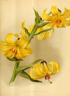 Lilium szovitsianum - circa 1891